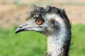 Ostrich emu — Stock Photo