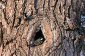 Mees op een boom in de buurt van de hollowparo en un árbol cerca del hueco — Foto de Stock
