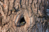 Mes på ett träd nära fördjupningen — Stockfoto