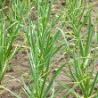A seedling of green onion farm - Stock Photo