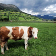Cow in a grass field — Stockfoto