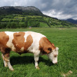 Cow eating grass — Foto de Stock