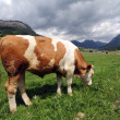 Cow eating grass — Stock fotografie