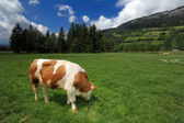 Cow in a grass field — Stock Photo