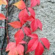 Red creeper — Stock Photo