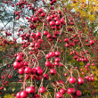Red ripe hawthorn — Stock Photo