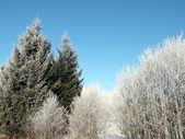 Frosten ağaçlar — Stok fotoğraf