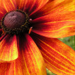 Stock Photo: Orange marguerite