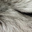 Stock Photo: Silver fox fur