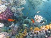 Barriera corallina e pesci — Foto Stock