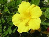 Yellow hibiscus — Stock Photo