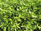 Zielonych liści — Zdjęcie stockowe
