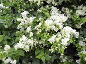 White bougainvillea — Stock Photo