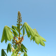 Chestnut bloom — Stock Photo