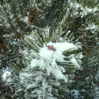 Pine branch with snow — Stock Photo