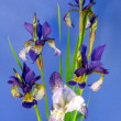 Blue iris — Stock Photo