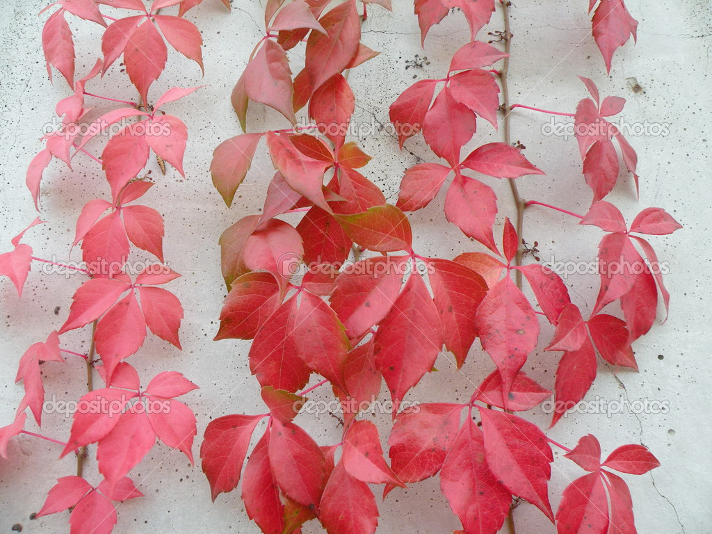 Red foliage on white wall suitable as background — Stock Photo #3325252