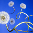 Group of dandelions — Stock Photo