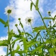 Chamomiles on blue sky - Stock Photo