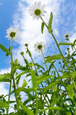 Chamomiles on blue sky — Stock Photo