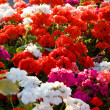 Colorful geraniums - Stock Photo