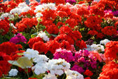 Colorful geraniums — Stock Photo