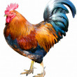 Magnificent rooster — Stock Photo