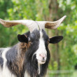 Billy goat — Stock Photo #3874306