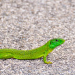 European green lizard — Stock Photo