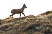 Ibex (Capra Ibex) walking, isolated on white — Stock Photo