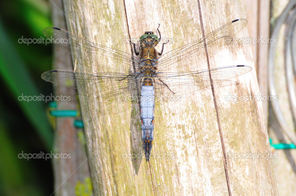 Black-tailed skimmer (Orthetrum cancellatum) on wooden post  Stock Photo #3884032