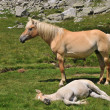 Mare and foal in alpine environment — Stock Photo