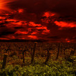 Grape Vines — Stock Photo