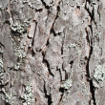 Pine tree bark texture — Stock Photo #3085455