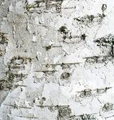 Birch-tree texture — Stock Photo