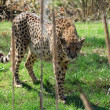 Cheetah — Stock Photo #2878087