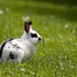 Dwarf rabbit — Stock Photo #3142063