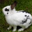 Dwarf rabbit — Stock Photo #3142190