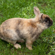 Dwarf rabbit — Stock Photo #3142341