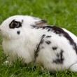 Dwarf rabbit — Stock Photo #3167621