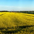 Rapeseed field panorama — Stock Photo