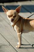 Small dog, big ears — Stock Photo