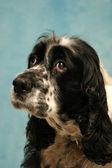 Sad sweet dog — Stock Photo