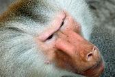 Affe-gesicht — Stockfoto