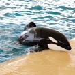 Stock Photo: Killer whale