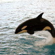 Killer whale jumping — Stock Photo #3726424
