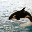 Stock Photo: Killer whale jumping