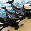 Stock Photo: Killer whales posing