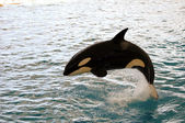 Killer whale jumping — Stock Photo