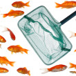 Stock Photo: Many goldfish and net